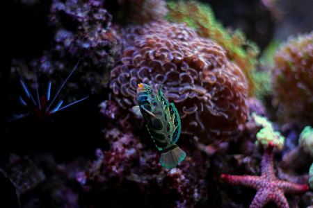 Green Mandarin fish in coral reef aquarium Stock Photo
