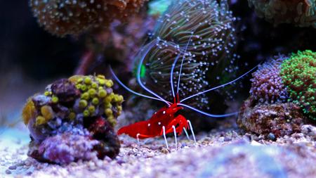 Lysmata Debelius - Red Fire Shrimp