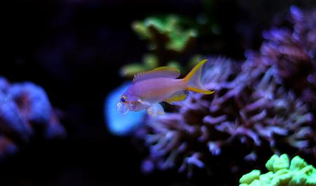 lyretail: Squareback Anthias (Pseudanthias pleurotaenia) Stock Photo