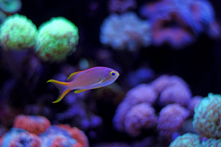 Squareback Anthias (Pseudanthias pleurotaenia) Stock Photo
