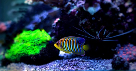 Regal Angelfish from red sea
