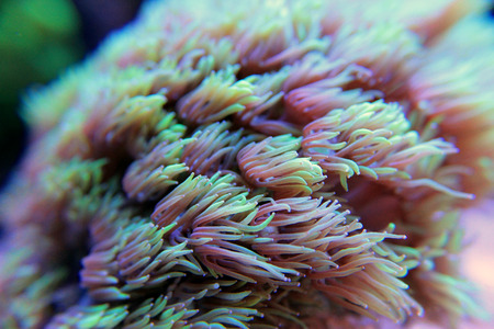 Goniopora lps coral in aquarium