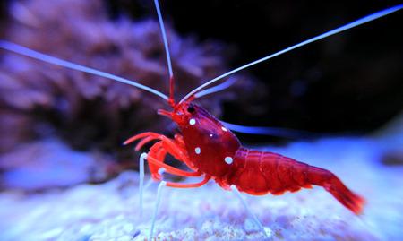 Red Fire shrimp - Lysmata Debelius Stock Photo