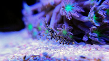 Cristal Shrimp - Palaemon Elegans Stock Photo