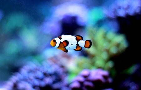 Picasso rare clownfish in reef aqurium