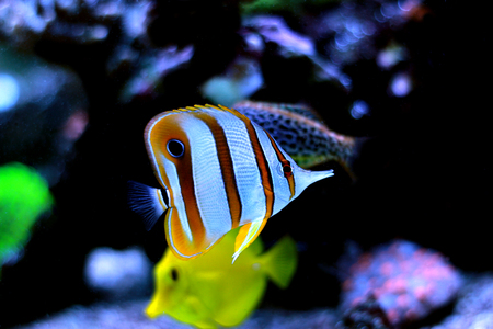 Butterfly fish in aquarium