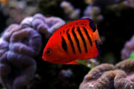 Flame Angelfish (Centropyge loricula) Stock Photo