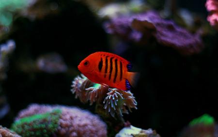 Flame Angelfish (Centropyge loricula) Stok Fotoğraf