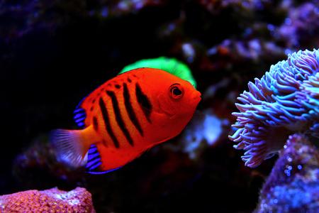 Flame Angelfish (Centropyge loricula) Zdjęcie Seryjne