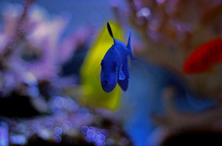 Niger Triggerfish (Odonus niger)
