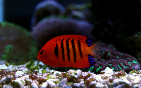 Flame Angelfish (Centropyge loricula) Stock Photo