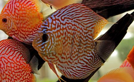 Discus fish in freshwater aquarium Stock Photo