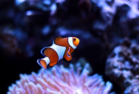 Clown fish enjoy in magnifica anemone Stock Photo