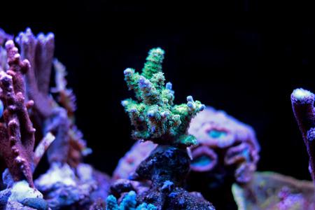 Acropora sps coral in reef aquarium tank