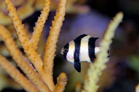 Four Stripe Damselfish - (Dascyllus melanurus) Stock Photo