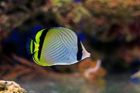 Vagabond Butterflyfish - Chaetodon vagabundus Stock Photo
