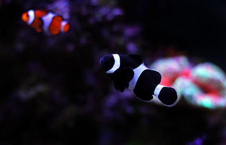 Black Ocellaris clownfish in aquarium