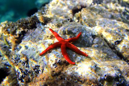 Estrella del Mar Rojo del Mediterráneo (Echinaster sepositus) Foto de archivo