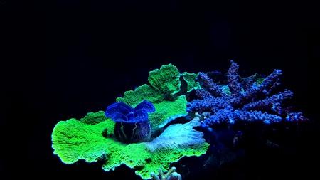 Montipora SPS colorful coral in saltwater aquarium Stock Photo