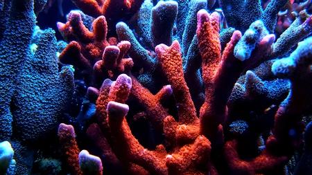 Montipora sps coral in reef aquarium tank Foto de archivo