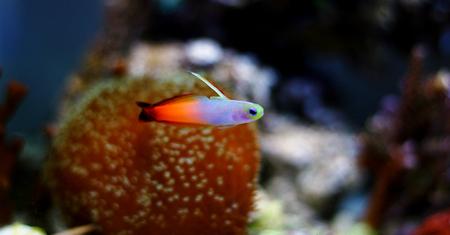 Firefish goby (Nemateleotris magnifica)