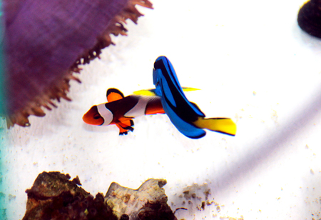 The most popular fishes swimming together in real life in the coral reef aquarium