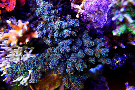 Acropora sps coral in saltwater aquarium Stock Photo