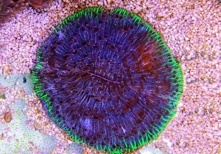 Fungia Plate LPS coral in reef aquarium Stock Photo