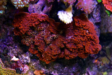 Montipora colorful SPS coral in Reef aquarium tank
