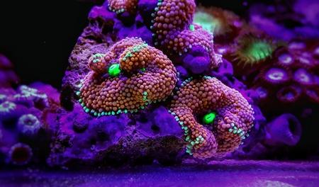Ricordea mushroom is one of the most beautiful mushroom corals in the aquatic world