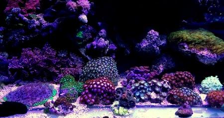 Zoanthus polyps colony coral in reef aquarium tank Stock Photo