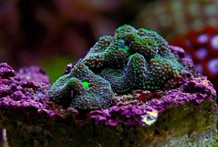 Ricordea mushroom is one of the most beautiful mushroom corals in the aquatic world Stock fotó