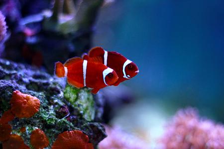 Goldflake Maroon Clownfish - Premnas biaculeatus