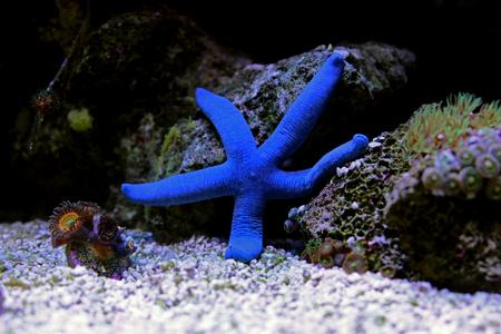 Blue Sea Star - (Linckia laevigata)