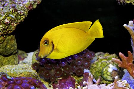 Mimic Lemon Peel Tang (Acanthurus pyroferus)