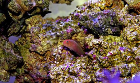 Elongate Dottyback - (Pseudochromis elongatus)