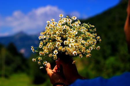Chamomile fresh herbal plant bouquet