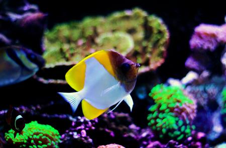 Yellow Pyramid Butterflyfish (Hemitaurichthys polylepis)