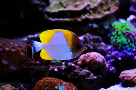 Yellow Pyramid Butterflyfish (Hemitaurichthys polylepis) Stock Photo - 116772489