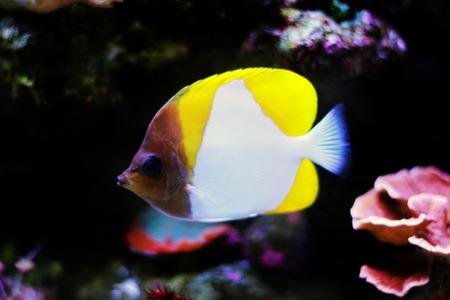 Yellow Pyramid Butterflyfish (Hemitaurichthys polylepis) Stock Photo - 116772494