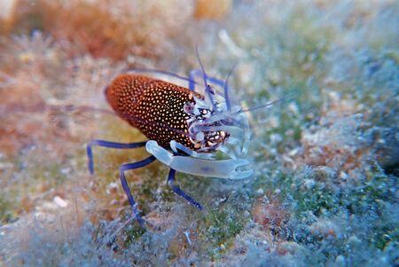 Spotted Bumblebee Shrimp - Gnathophyllum elegans