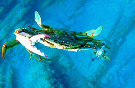 The mediterranean blue crab - (Callinectes sapidus)
