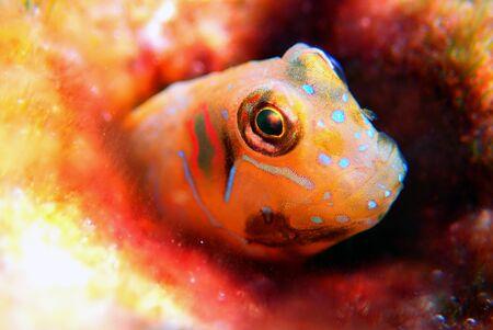 The Sphinx blenny fish - (Aidablennius sphynx)