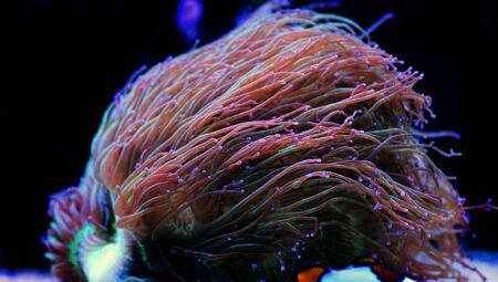 Wonder elegance coral - Catalaphyllia jardinei