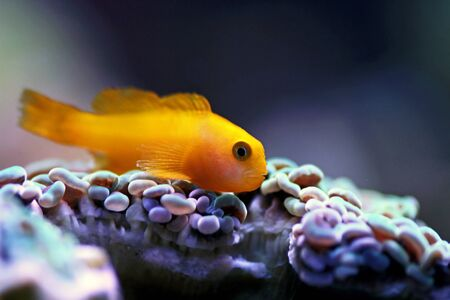 Yellow Coralgoby - Gobiodon okinawae Stockfoto