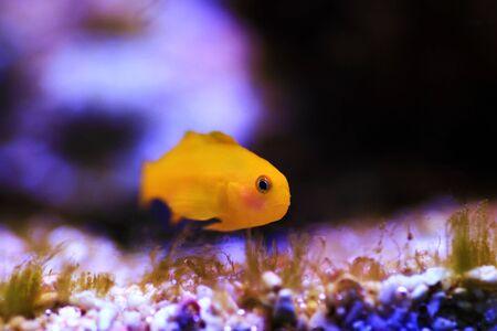 Yellow Coralgoby - Gobiodon okinawae