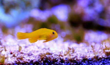 Yellow Coralgoby - Gobiodon okinawae Stock Photo