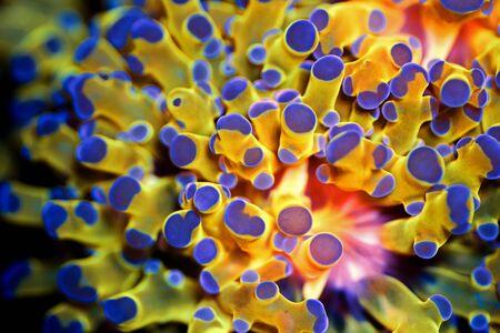 Golden Euphyllia LPS coral - Very rare species