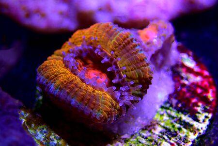 Macro shot on Acanthastrea LPS polyps