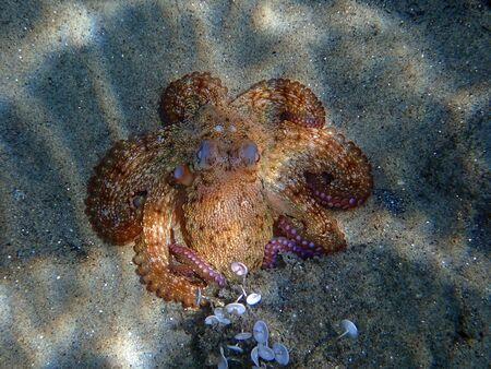 Common Mediterranean octopus - Octopus vulgaris